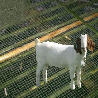 钢丝羊床网